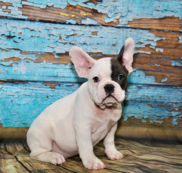 Akc Teddy French Bulldog White And Blue Colored