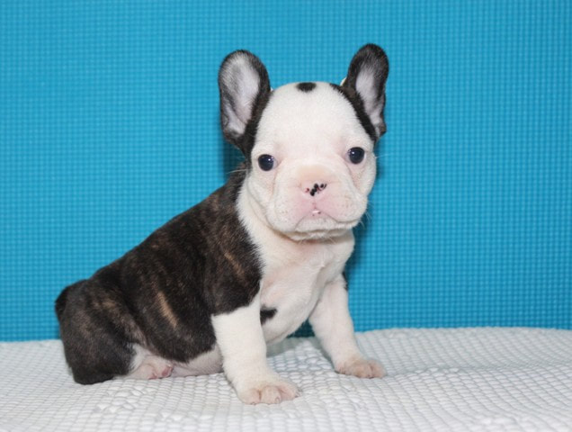 Akc Dulce French Bulldog Brindle And White Colored